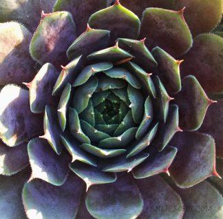 Summer Succulent - Janet Crosby