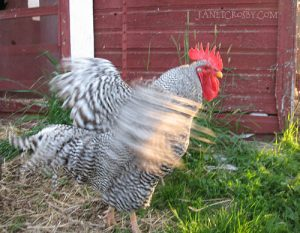 Mr Blanca - favorite rooster ever - janetcrosby.com