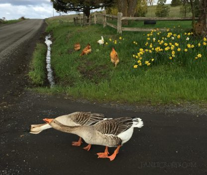 Chickens and Geese out for a stroll