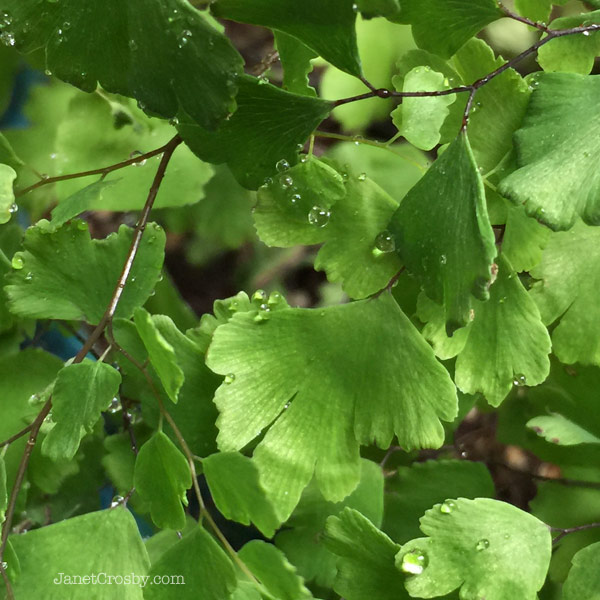 Misty Maidenhair