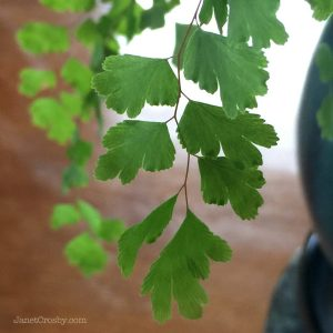 Maidenhair Fern Frond
